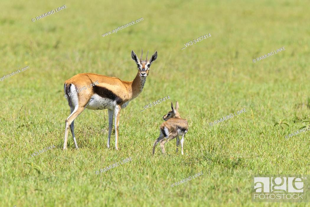 Photo de stock: Thompsons Gazelles, Gazella thomsonii, mother with lamb, Masai Mara National Reserve, Kenya, Africa.