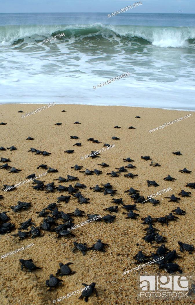 Stock Photo: Olive Ridley Sea Turtle (Lepidochelys olivacea)./ Tortugas Golfinas recien nacidas camino al mar. La Tortugas Golfinas  (lepidochelys olivacea) habita en los.