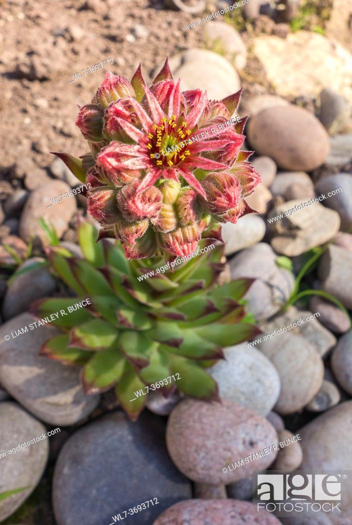 Stock Photo: Sempervivum arachnoideum, cobweb house-leek. Hereford UK. June 2020.