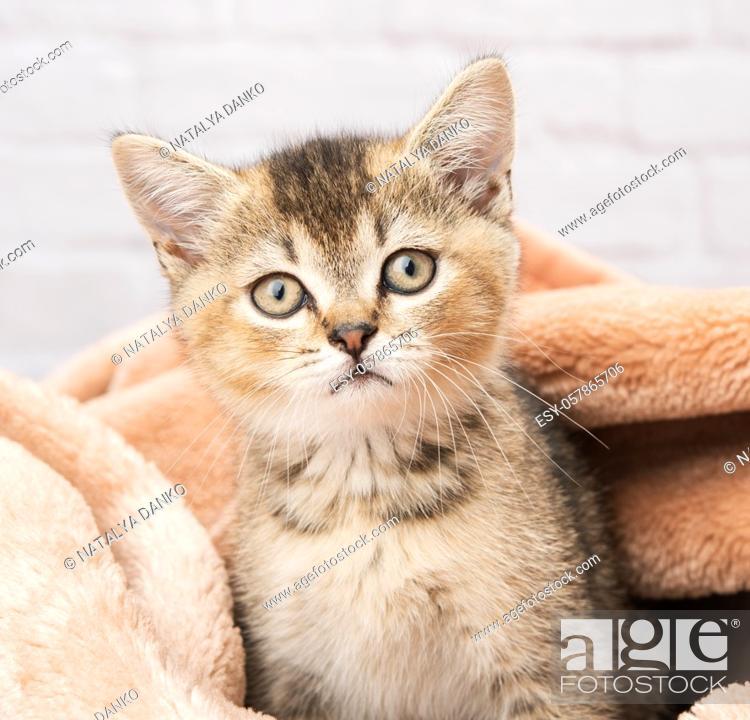 Stock Photo: portrait of a kitten scottish chinchilla straight sitting in a blanket, close up.