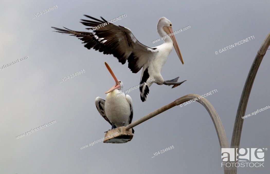 Stock Photo: Australian Pelican (Pelecanus conspicillatus), on the light, American River, Kangarro Island, South Australia, Australia.