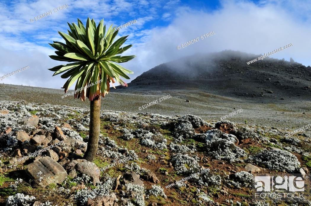 Stock Photo: giant Lobelia on the Sanetti Plateau, Bale Mountains National Park, Oromia, Ethiopia, Africa.