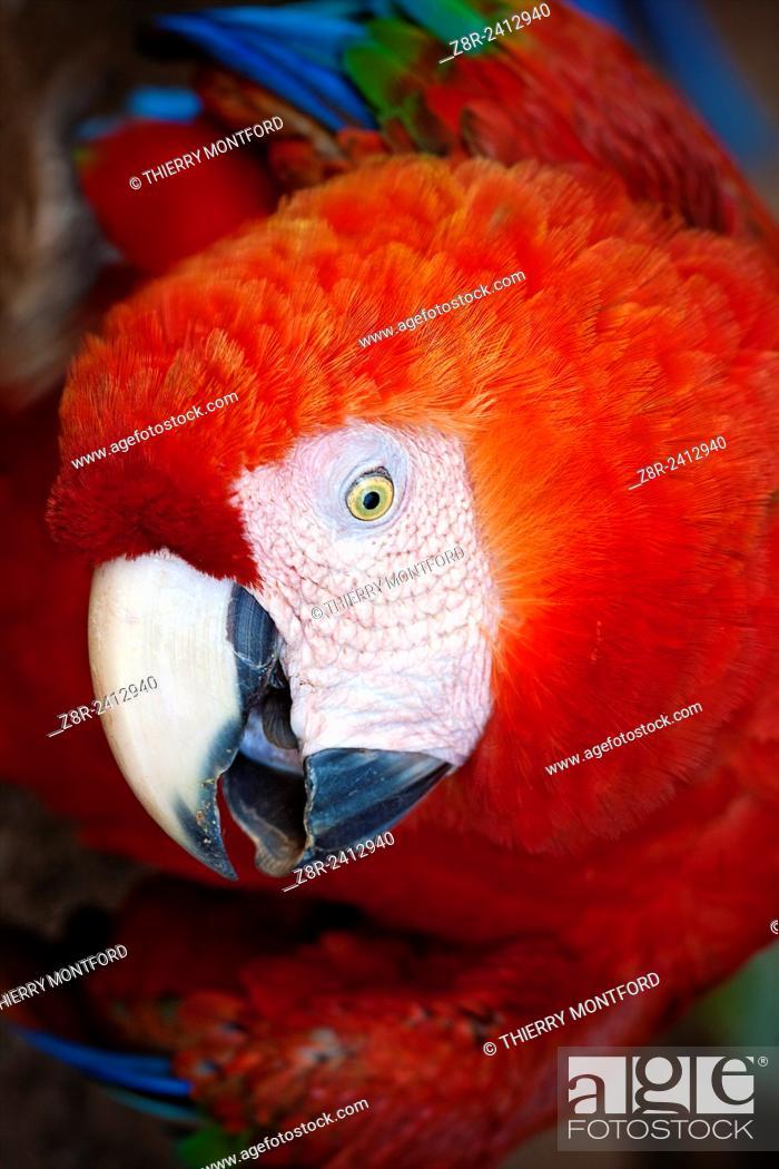 Stock Photo: Ara macao. Red macaw. Portrait. Salvation islands. French Guiana.