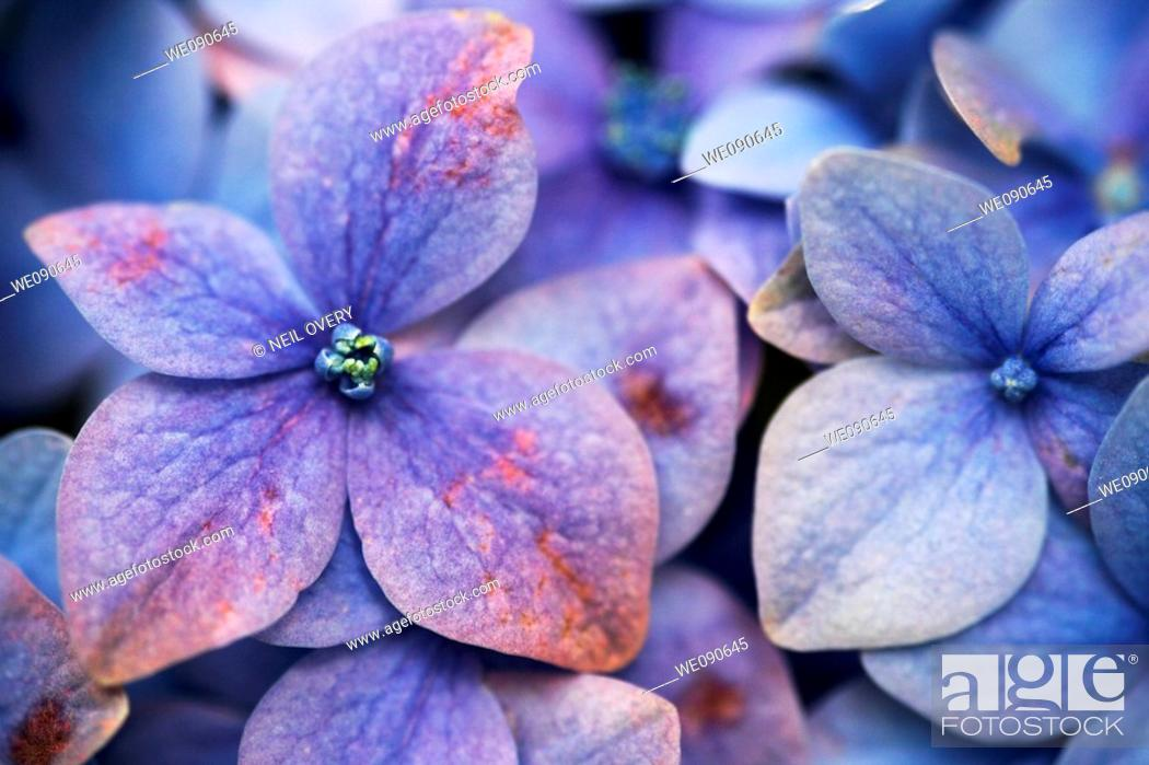 Stock Photo: Hydrangea macrophylla.