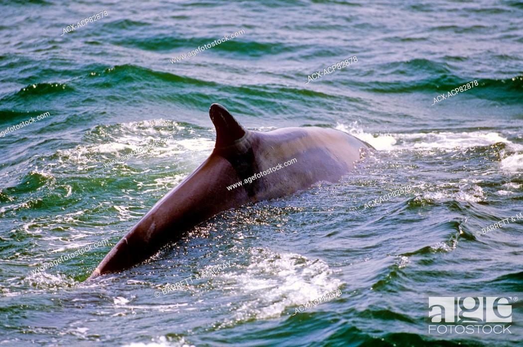 Stock Photo: Fin Whale, (Balaenoptera physalus), Mingan Islands, Quebec, Canada.