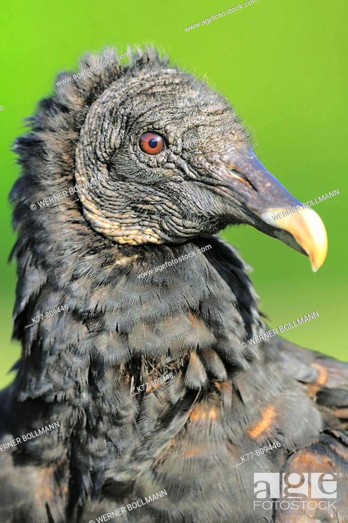 Stock Photo: Black Vulture (Coragyps atratus), Juvenile. Everglades N.P., Florida, USA.