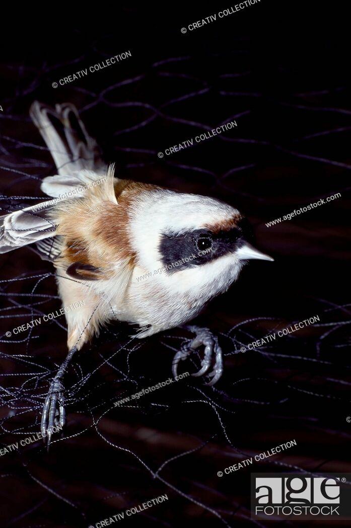 Stock Photo: Nature, Animal, Flying, Bird, Net, Catch, Web, Imprison, Songbird, Titmouse