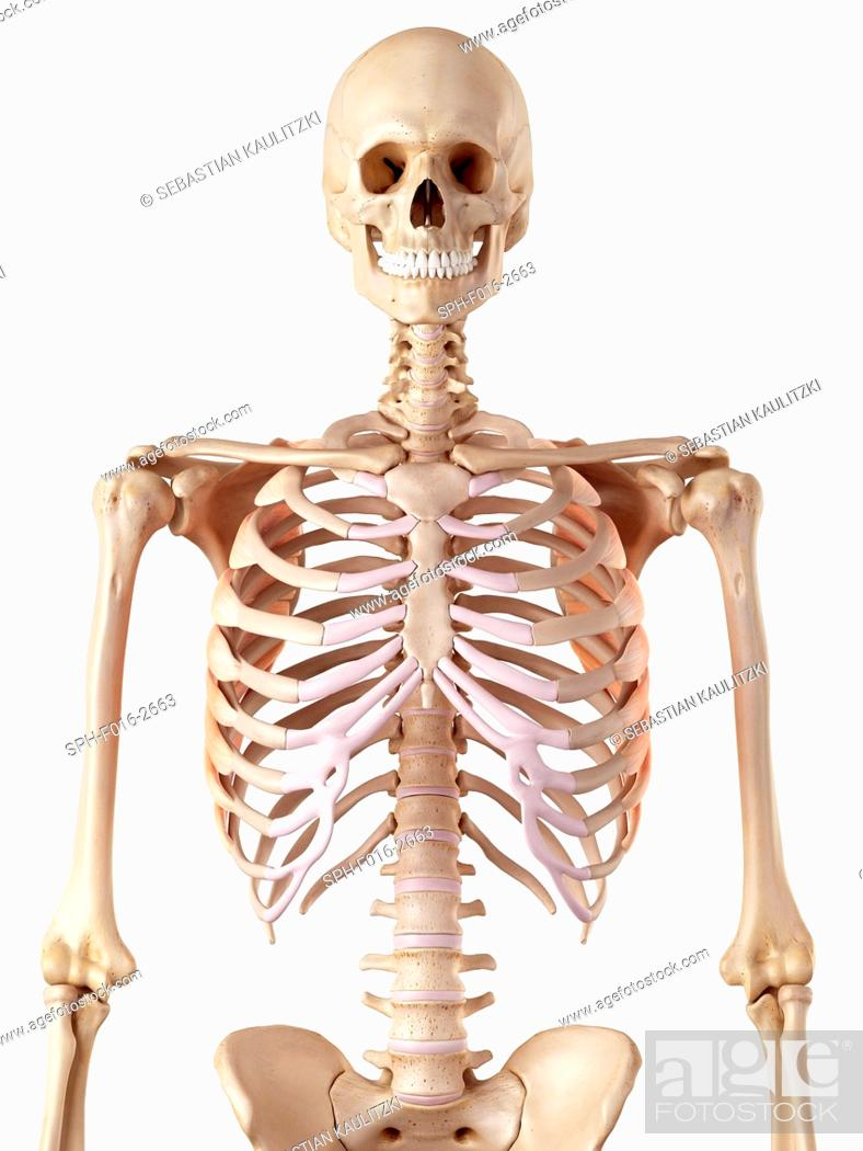 Human rib muscles, Stock Photo, Picture And Royalty Free Image. Pic ...