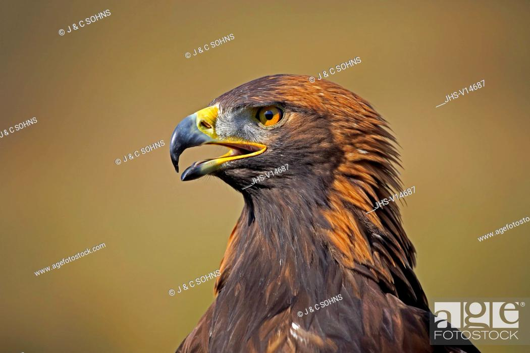 Stock Photo: Golden Eagle, (Aquila chrysaetos), adult calling portrait, Rimavska Sobota, Slovak Republic, Europe.