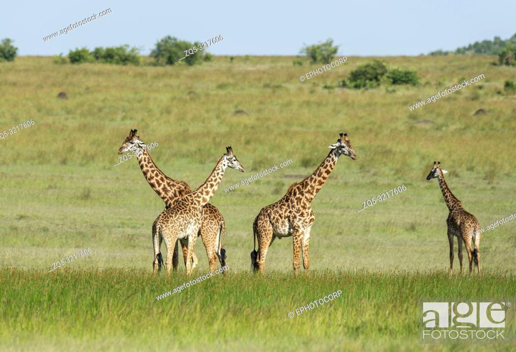 Stock Photo: Four giraffes, Giraffa Maasai Mara, Kenya, Africa.