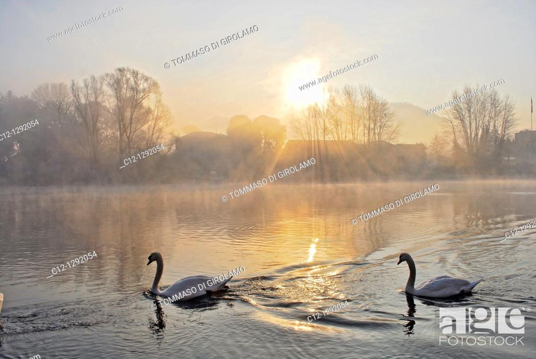 Stock Photo: Swans, winter landscape, Adda River, Lombardy, Italy.