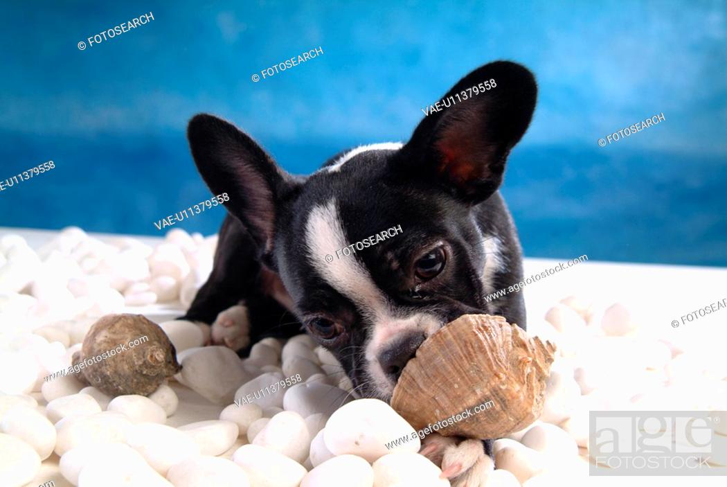 Stock Photo: faithful, domestic animal, companion, canine, close up, boston terrier.