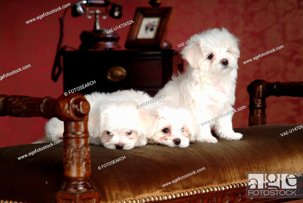 Stock Photo: pose, maltese, house pet, canines, domestic, Maltese.