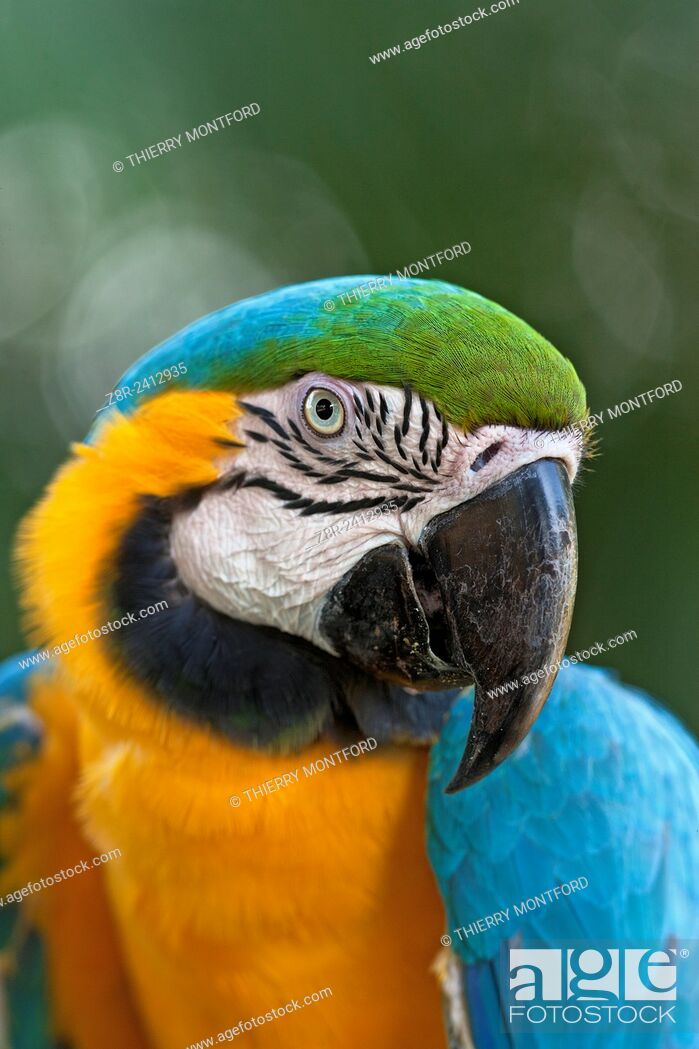 Stock Photo: Ara ararauna. Blue and gold macaw, or blue and yellow macaw. Portrait. Salvation islands. French Guiana.