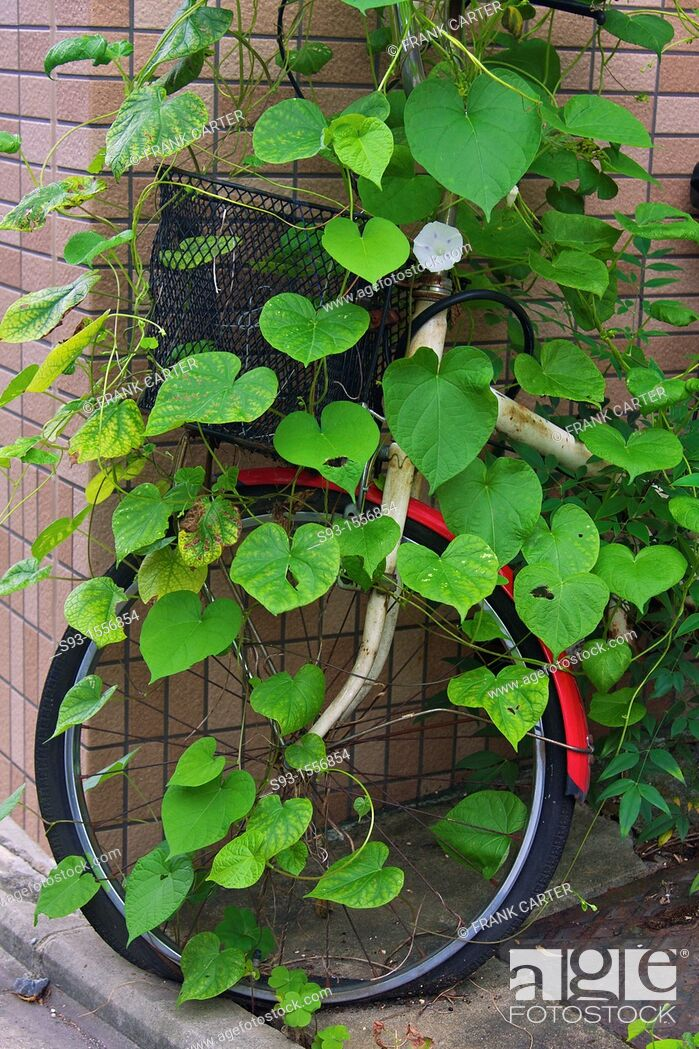Stock Photo: A bicycle that has been parked for too long, with a vine growing all over it.