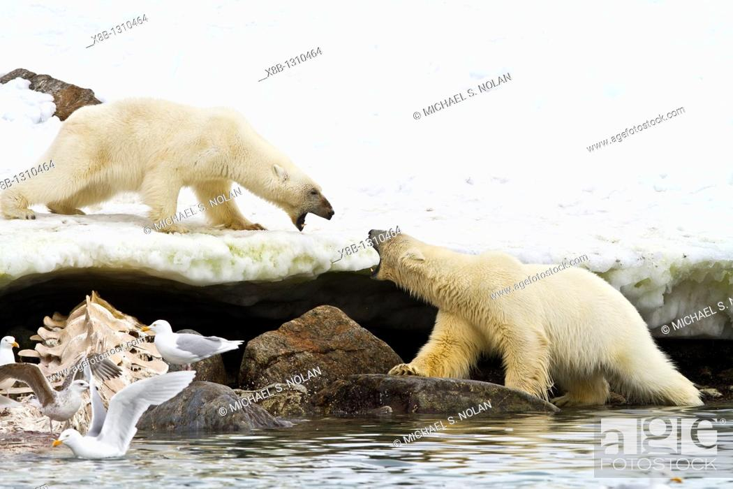 Stock Photo: Mother polar bear Ursus maritimus and COY cub-of-year disputing and then allowing a male bear to feed on a fin whale carcass in Holmabukta on the northwest.