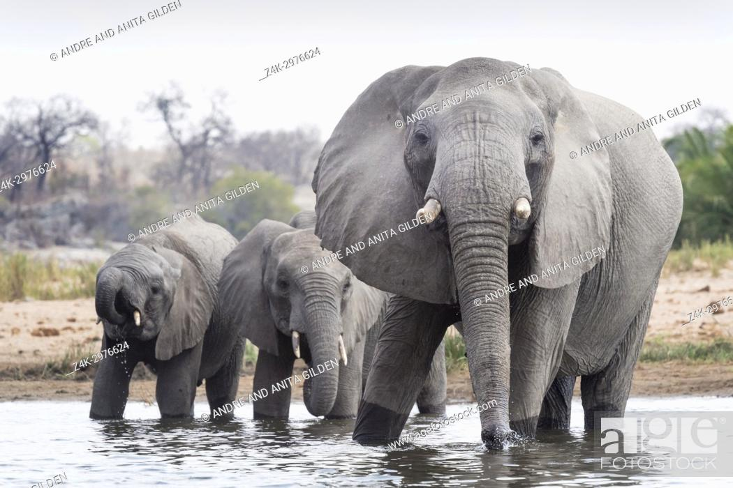 Stock Photo: African Elephant (Loxodonta africana) herd drinking at waterhole, Kruger National Park, South Africa.
