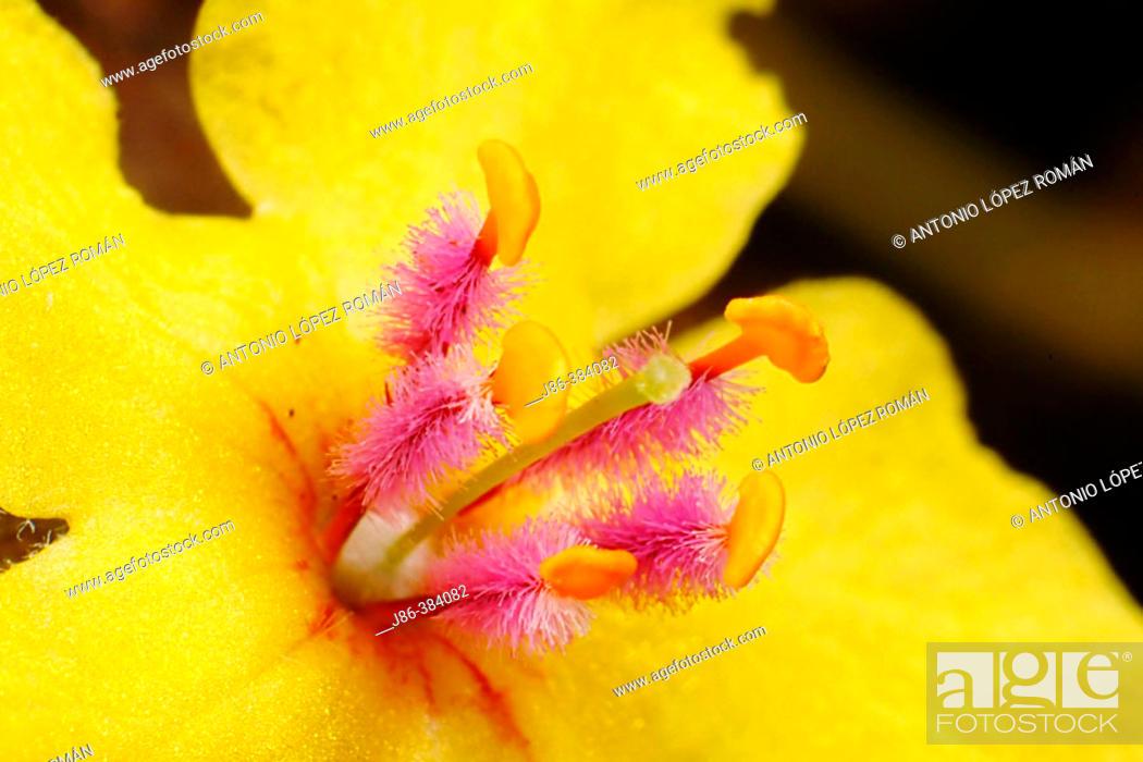 Stock Photo: Mullein (Verbascum sinuatum).