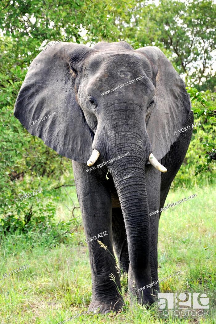 Stock Photo: elephant, Moremi National Park, Botswana.
