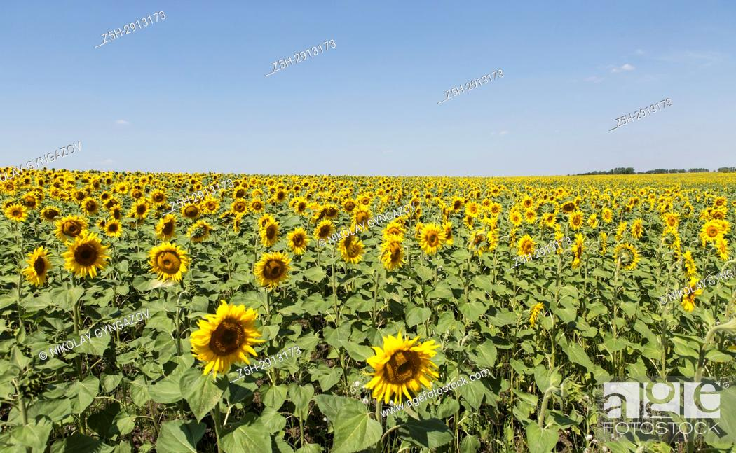 Stock Photo: A field of sunflowers against the blue sky.
