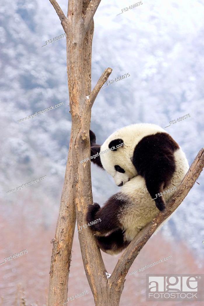 Stock Photo: Giant Panda (Ailuropoda melanoleuca). China.