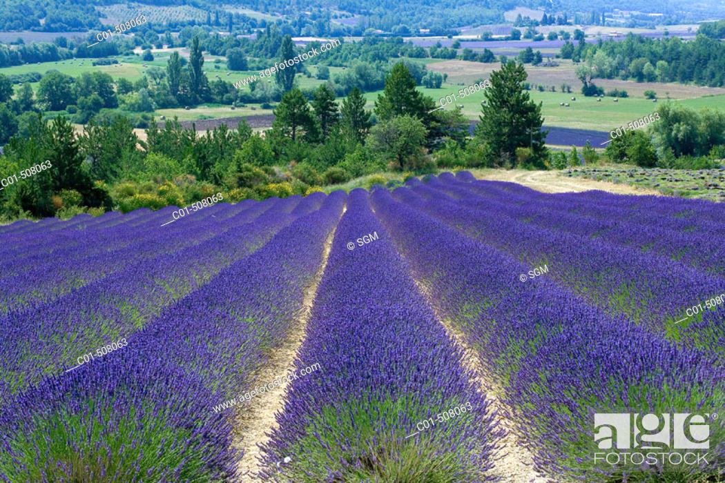 Stock Photo: Blooming lavender field. Provence. France.