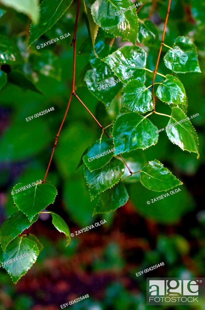 Stock Photo: leaf after rain.