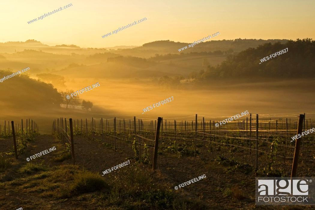 Stock Photo: Italy, Tuscany, Vineyard, Morning mist.