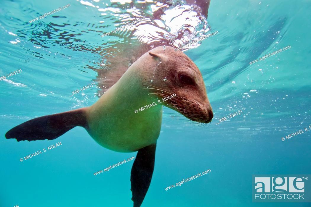 Stock Photo: Young Galapagos sea lion Zalophus wollebaeki underwater in the Galapagos Island Archipelago, Ecuador  MORE INFO The population of this sea lion fluctuates.