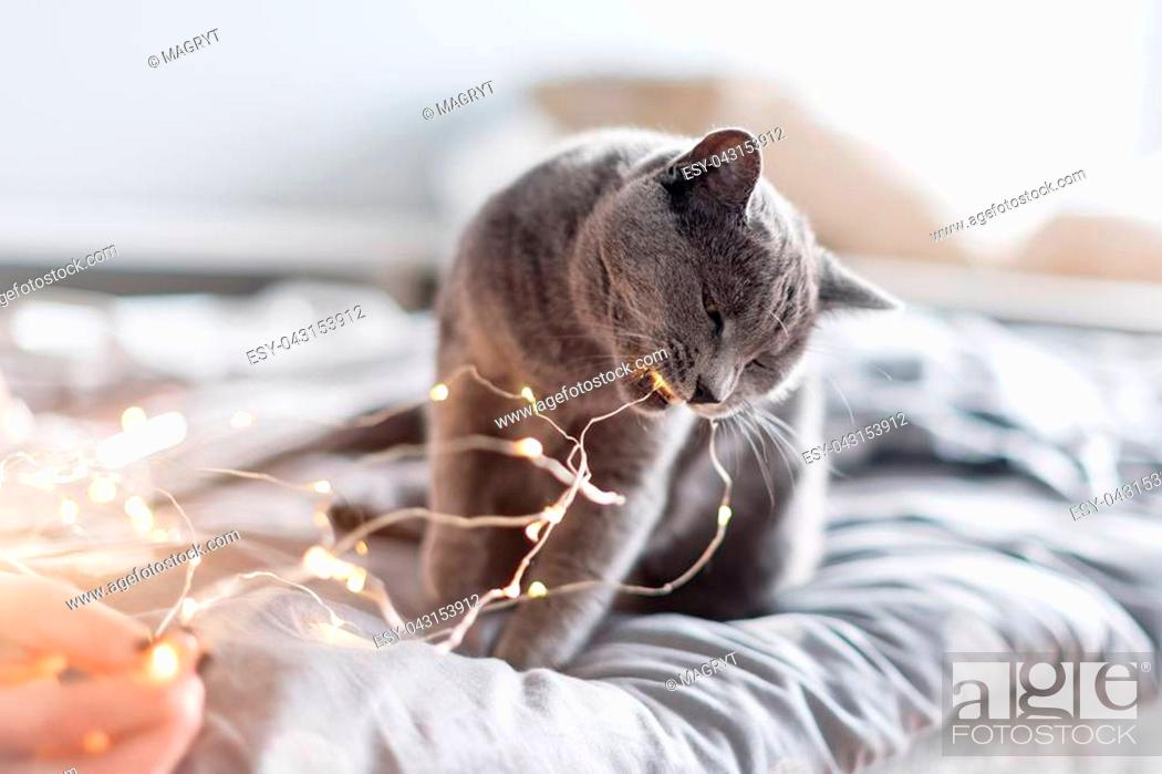 Stock Photo: Russian blue cat with Christmas lights, selective focus. Woman holding garland playing with cat in bed.