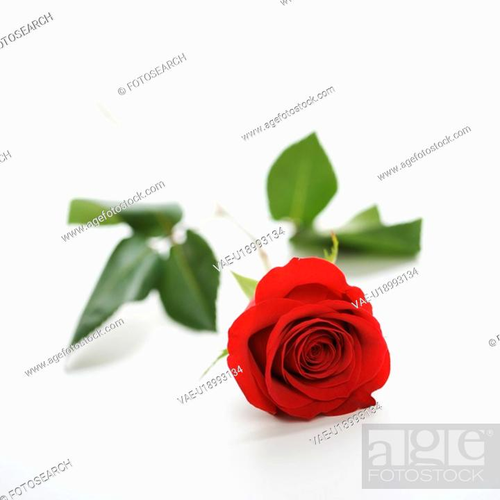 Stock Photo: Single long-stemmed red rose against white background.