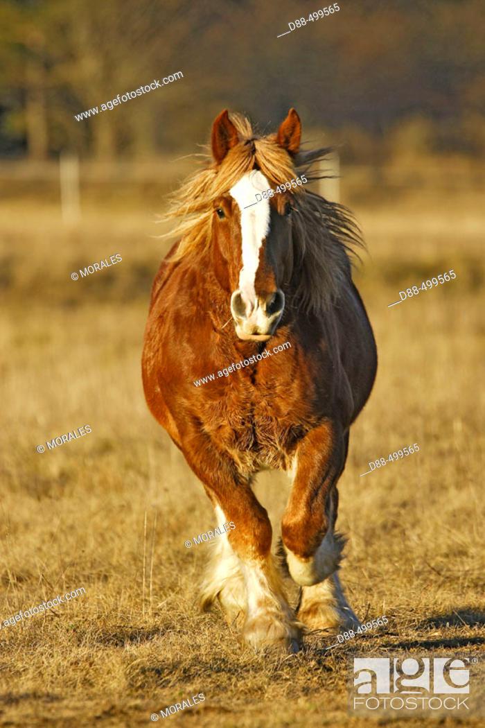Stock Photo: Breton draft horse. Alpes Maritimes. France.