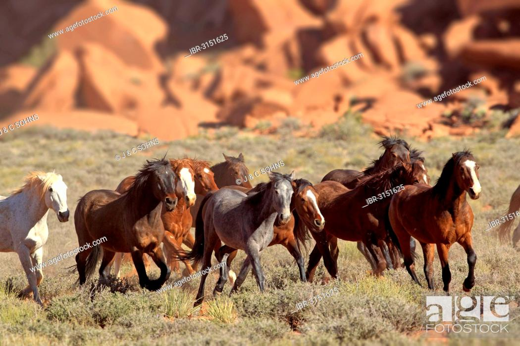 Stock Photo: Herd of mustangs, Monument Valley, Utah, United States.