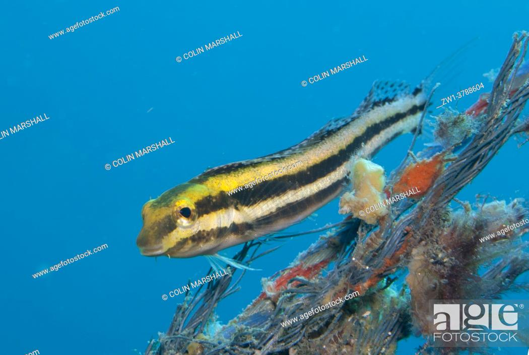 Stock Photo: Shorthead Fangblenny (Petroscirtes breviceps), Aer Bajo dive site, Lembeh Straits, Sulawesi, Indonesia.