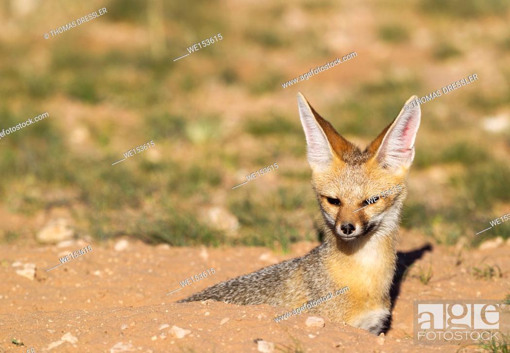 Stock Photo: Cape Fox (Vulpes chama). Resting at its burrow. Kalahari Desert, Kgalagadi Transfrontier Park, South Africa.