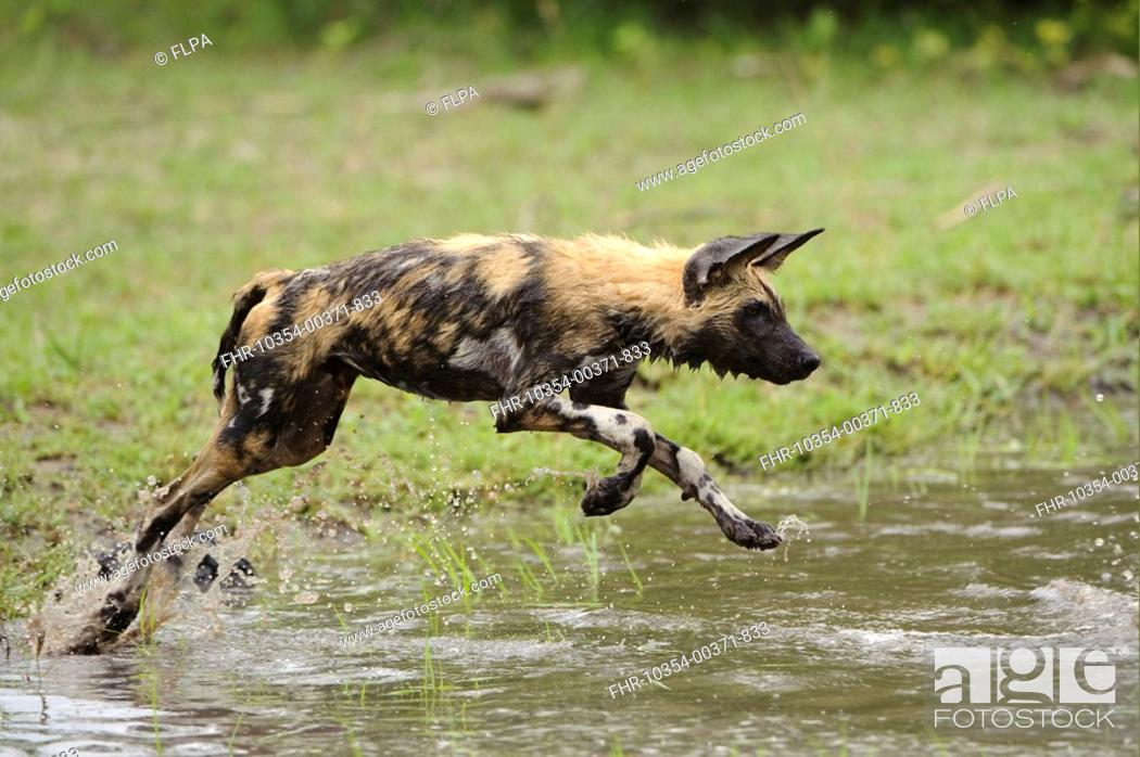 Stock Photo: African Wild Dog Lycaon pictus pup, running, playing in water, Kwando Lagoon, Linyanti, Botswana.