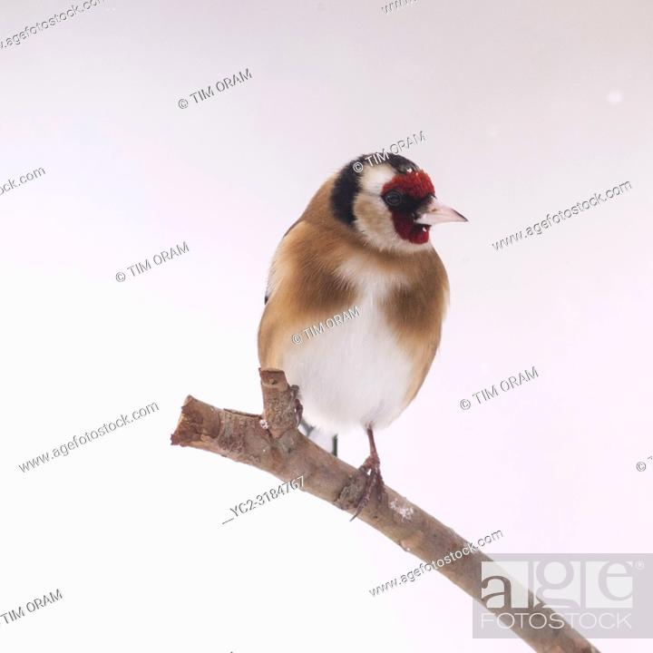 Stock Photo: A Goldfinch (Carduelis carduelis) in freezing conditions in a Norfolk garden.