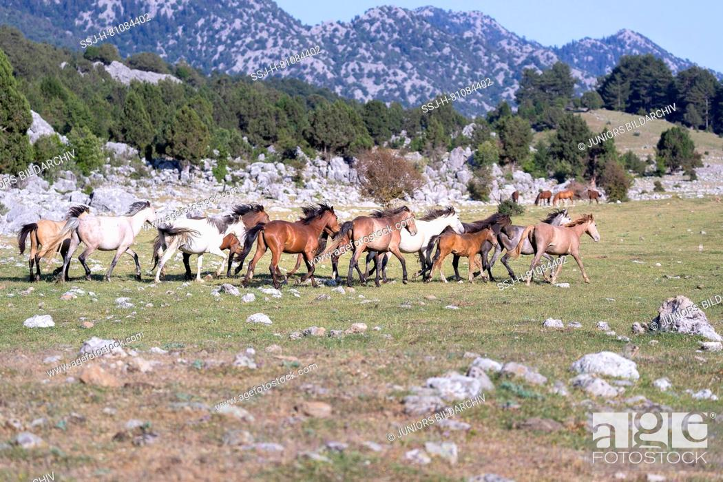 Stock Photo: Feral horse, wild horse. Herd trotting in landscape. Turkey.