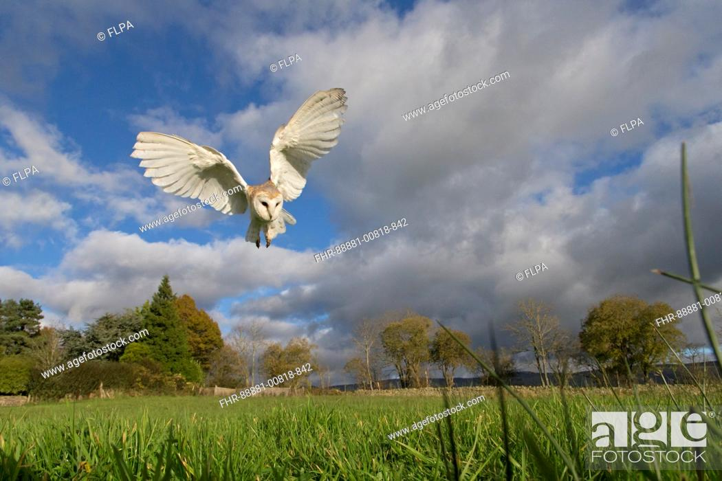Stock Photo: Barn Owl (Tyto alba) adult, flying, hovering over grassland, Cumbria, November, controlled subject.