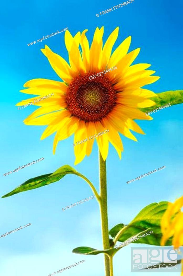 Stock Photo: Sunflower (lat. Helianthus) with blue sky, Germany.