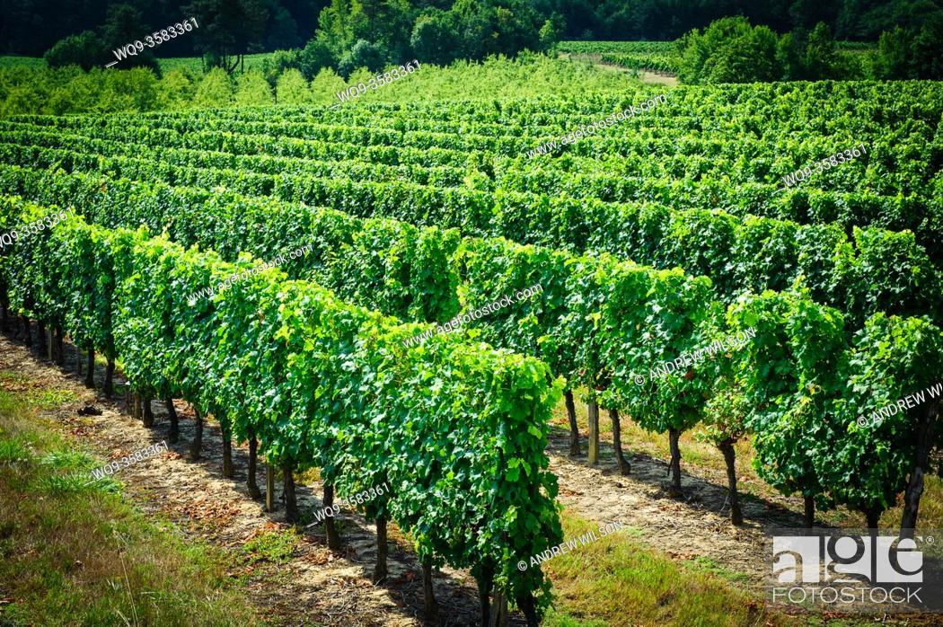 Stock Photo: Vineyard in the Cotes de Duras, Lot et Garonne, Aquitaine, France.