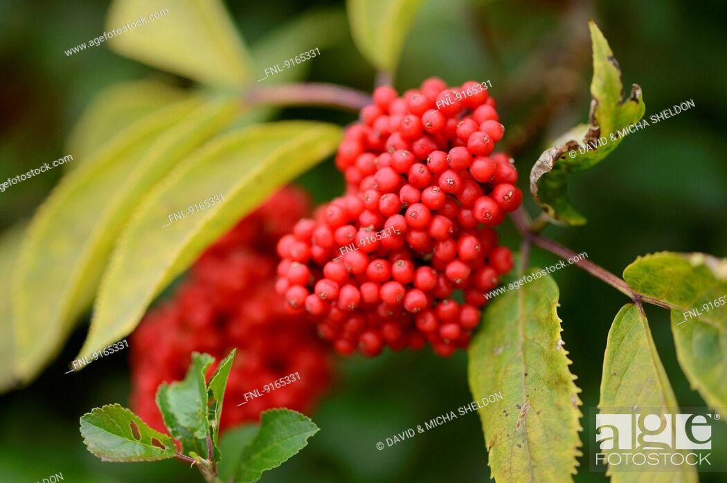 Stock Photo: Red Elderberries on twig.