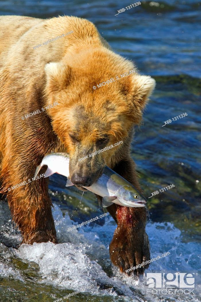 Stock Photo: Adult brown bear Ursus arctos foraging for salmon at the Brooks River in Katmai National Park near Bristol Bay, Alaska, USA  Pacific Ocean  MORE INFO Every July.