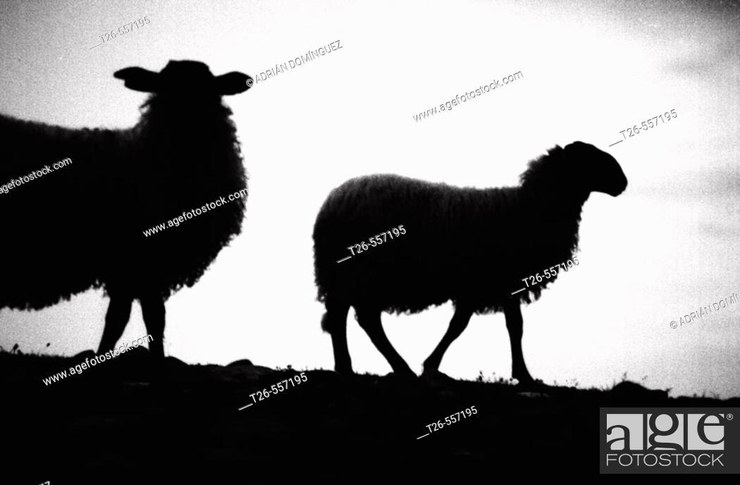 Stock Photo: sheeps in the shadow. Pirineus mountain, Spain.