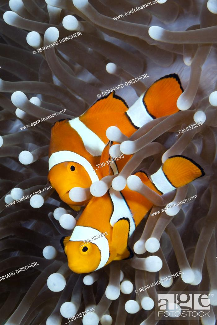 Stock Photo: Clown Anemonefish, Amphiprion ocellaris, New Ireland, Papua New Guinea.