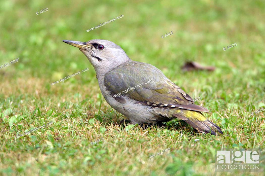 Stock Photo: Gray-headed Woodpecker female Germany Picus canus.