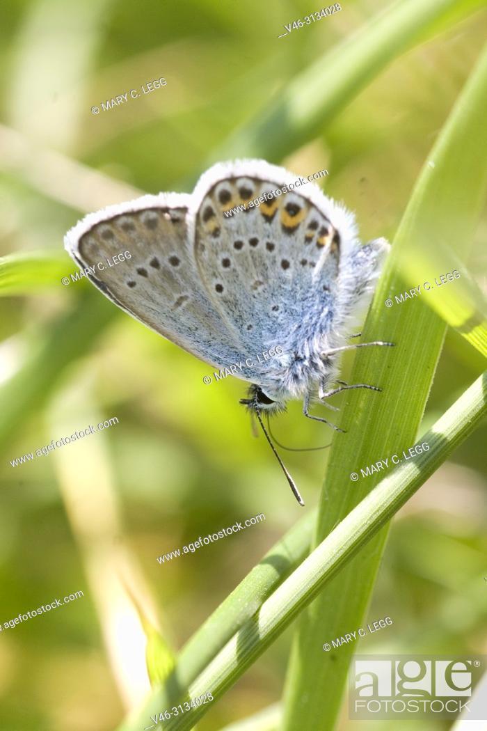 Stock Photo: Idas Blue, Plebejus idas. Idas Blue, Plebejus idas are myrmephilic Lycaenidae associatted withLasius and Fromica ants. Meadow grasslands with large variety of.