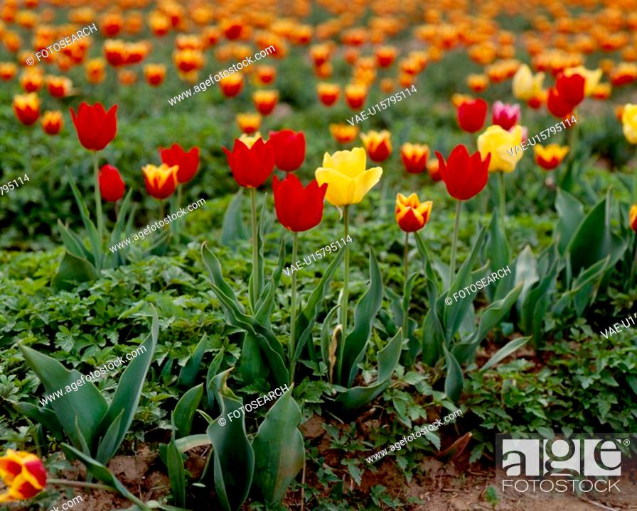 Stock Photo: red flowers, nature, flowers, flower, scene, yellow flowers, landscape.