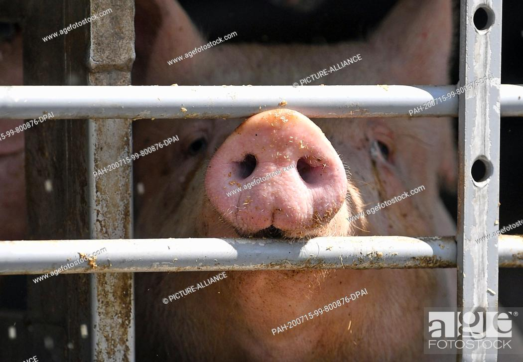 Stock Photo: 02 July 2020, Saxony-Anhalt, Weißenfels: A pig can be seen behind the barred window of an animal transport in front of Tönnies slaughterhouse in Weißenfels.