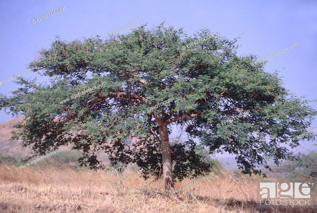 Form Acacia Leucophloea Distillers Acacia Family Mimosaceae Stock Photo Picture And Rights Managed Image Pic Zq5 2726242 Agefotostock